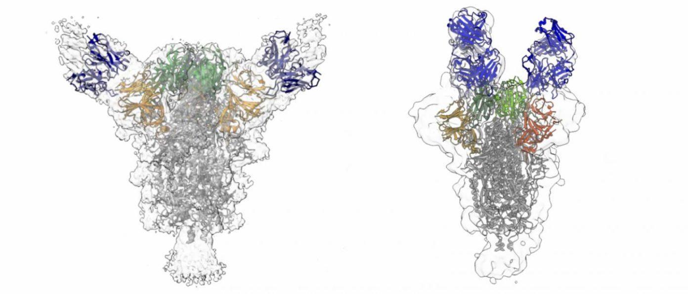 cientistas descobrem anticorpos que neutralizam covid