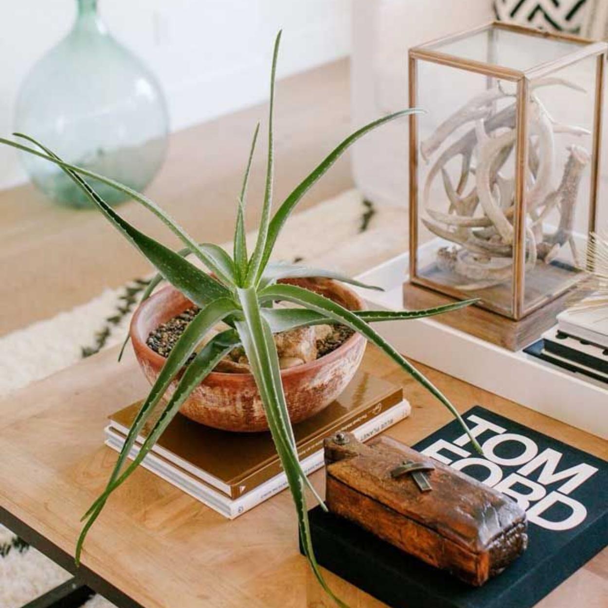 Babosa é uma opção entre as plantas para quarto.