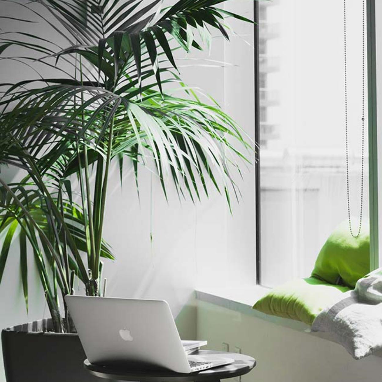 Palmeira Ráfia: plantas para quarto e escritórios.