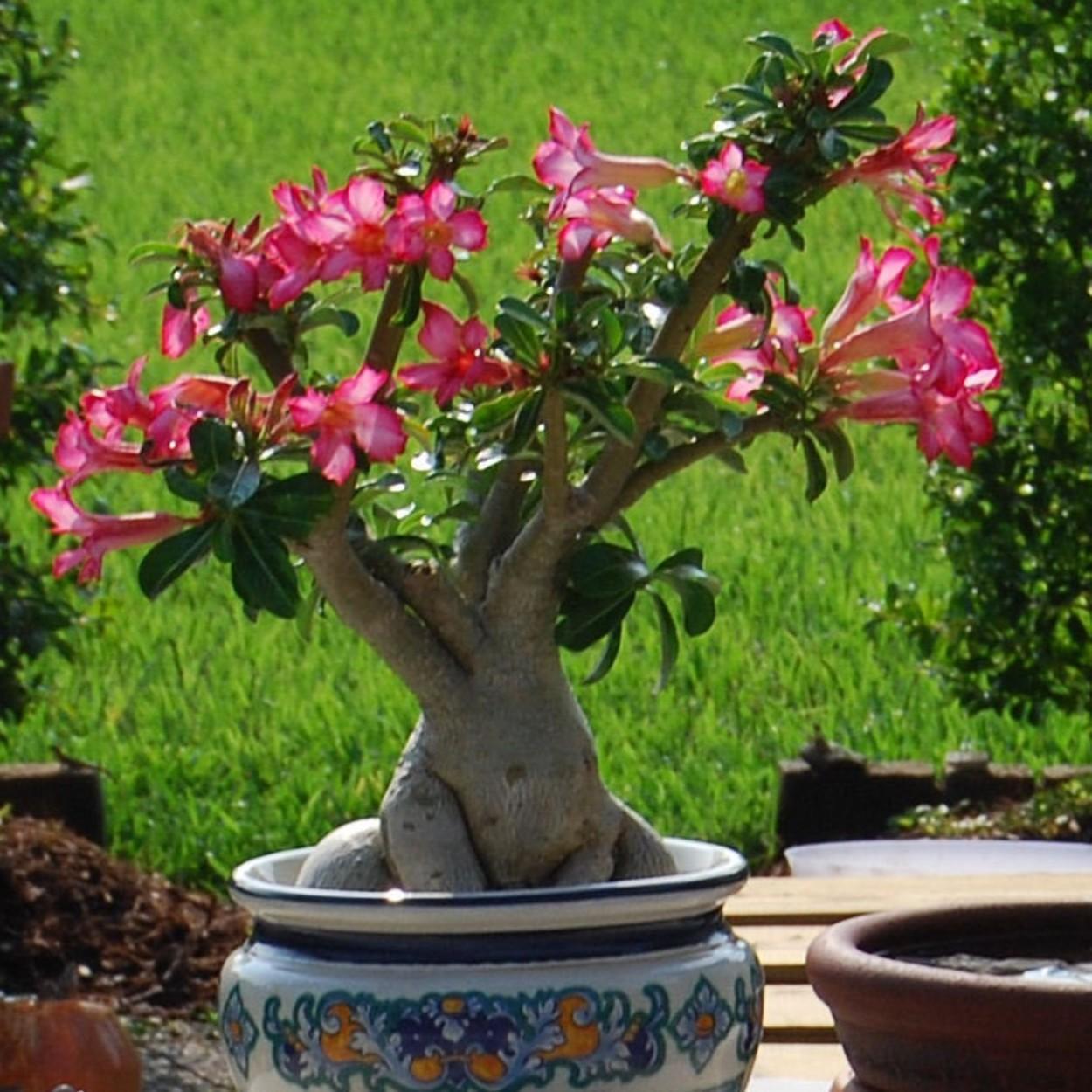 rosa-do-deserto-2