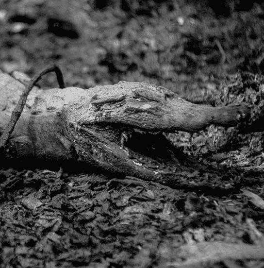 jacaré carbonizado no Pantanal