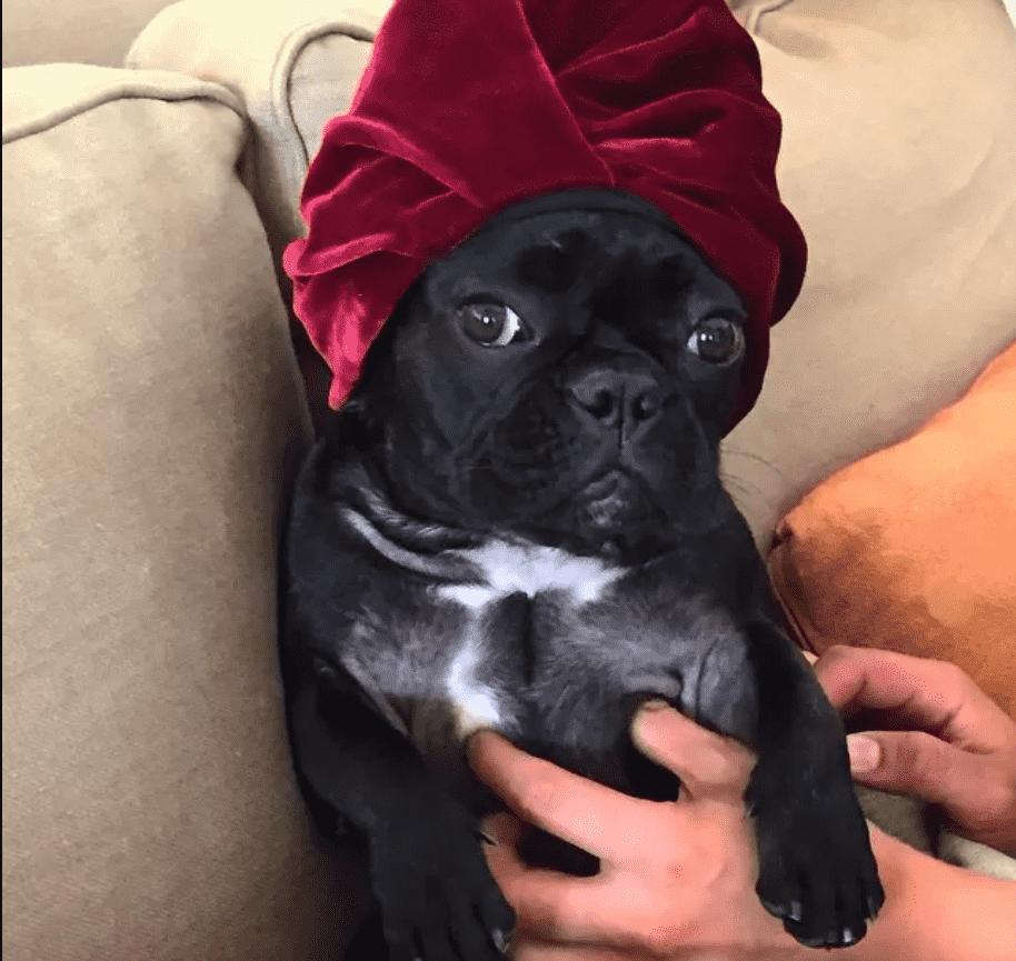 Foto da cachorra de Lady Gaga