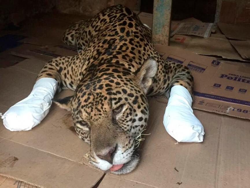 Onça-pintada ferida em incêndio no Pantanal.anguera)