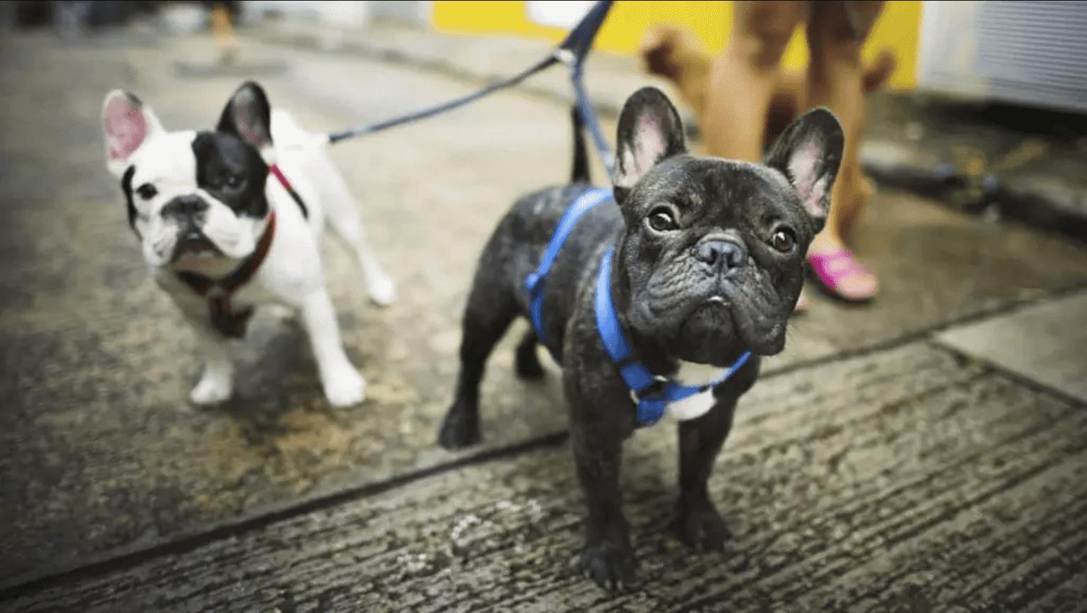 Foto mostra dois cães da raça Buldogue Francês
