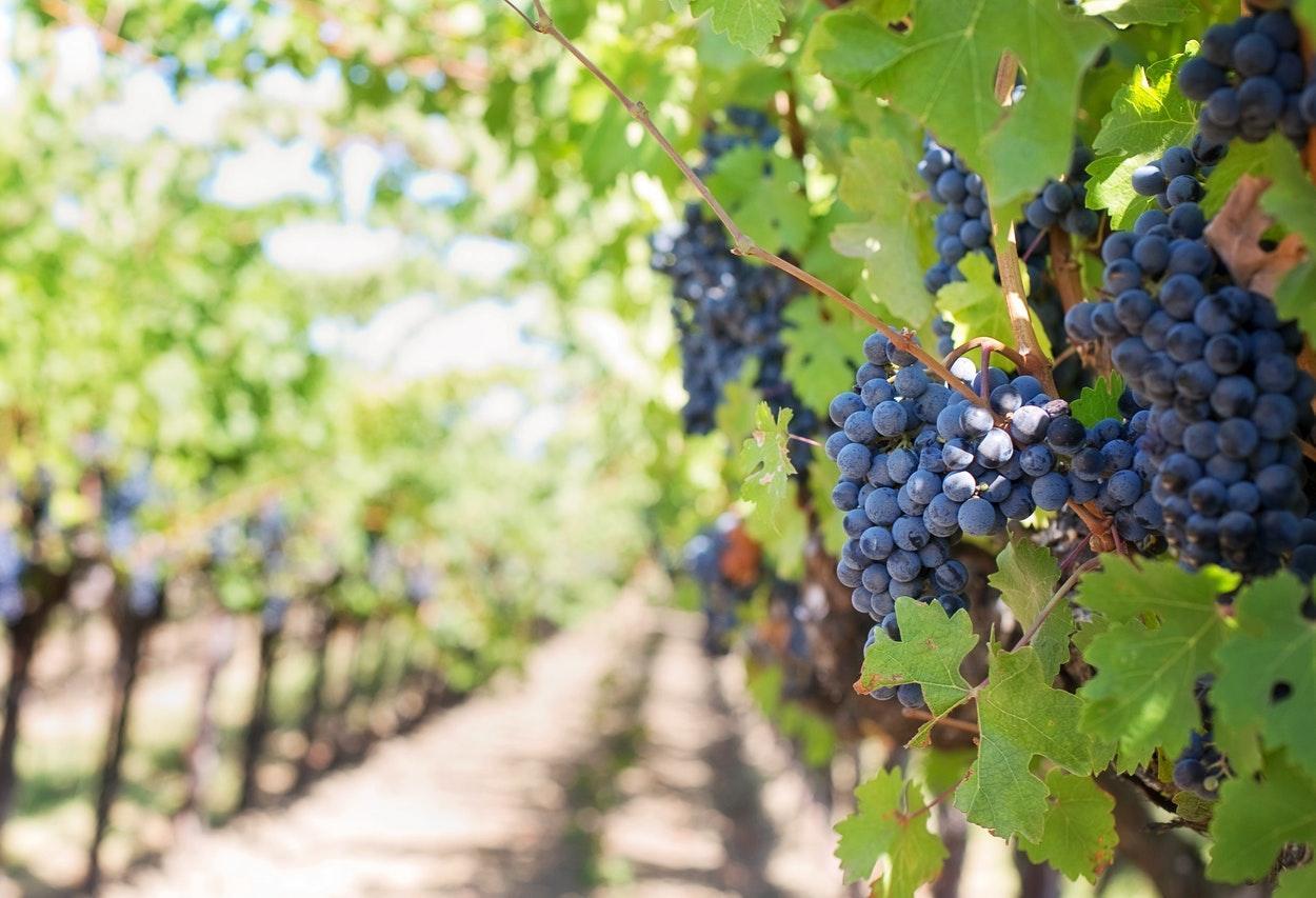 tipos de uva para vinho