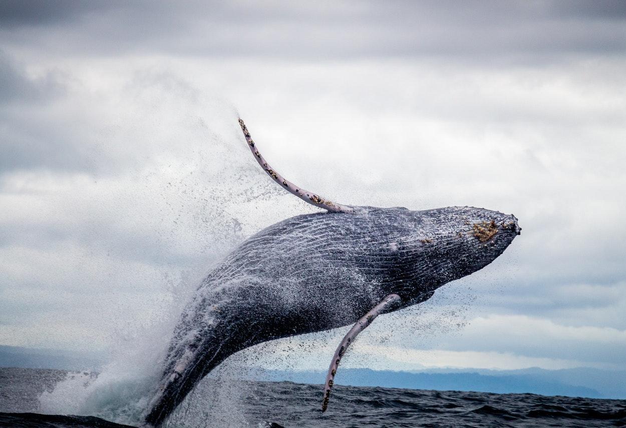 Baleias estão em risco de extinção
