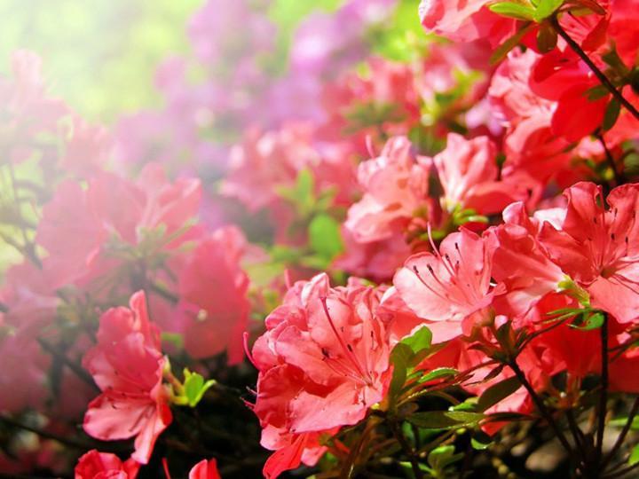 Flores de azaleia