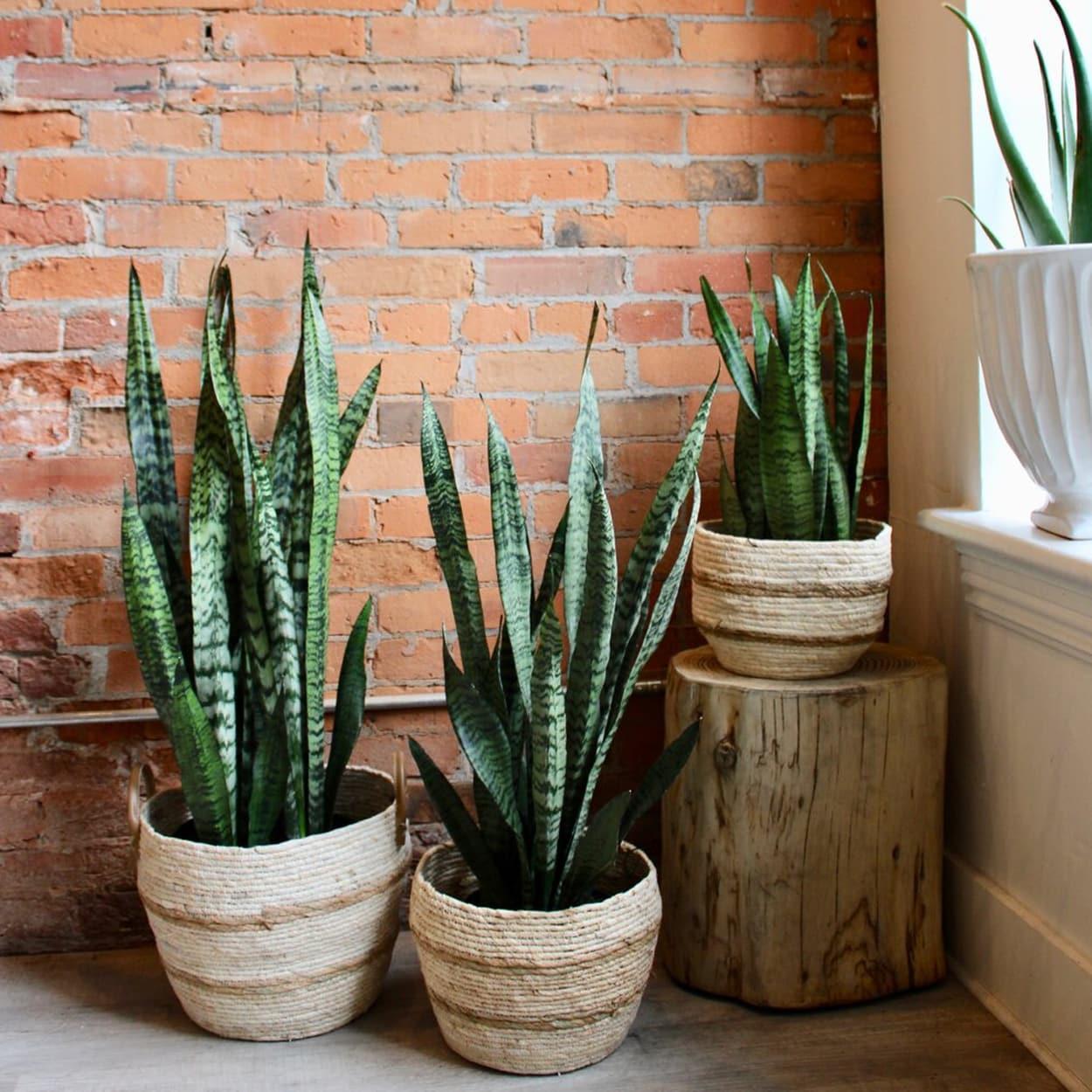plantas em apartamento - lança de são jorge
