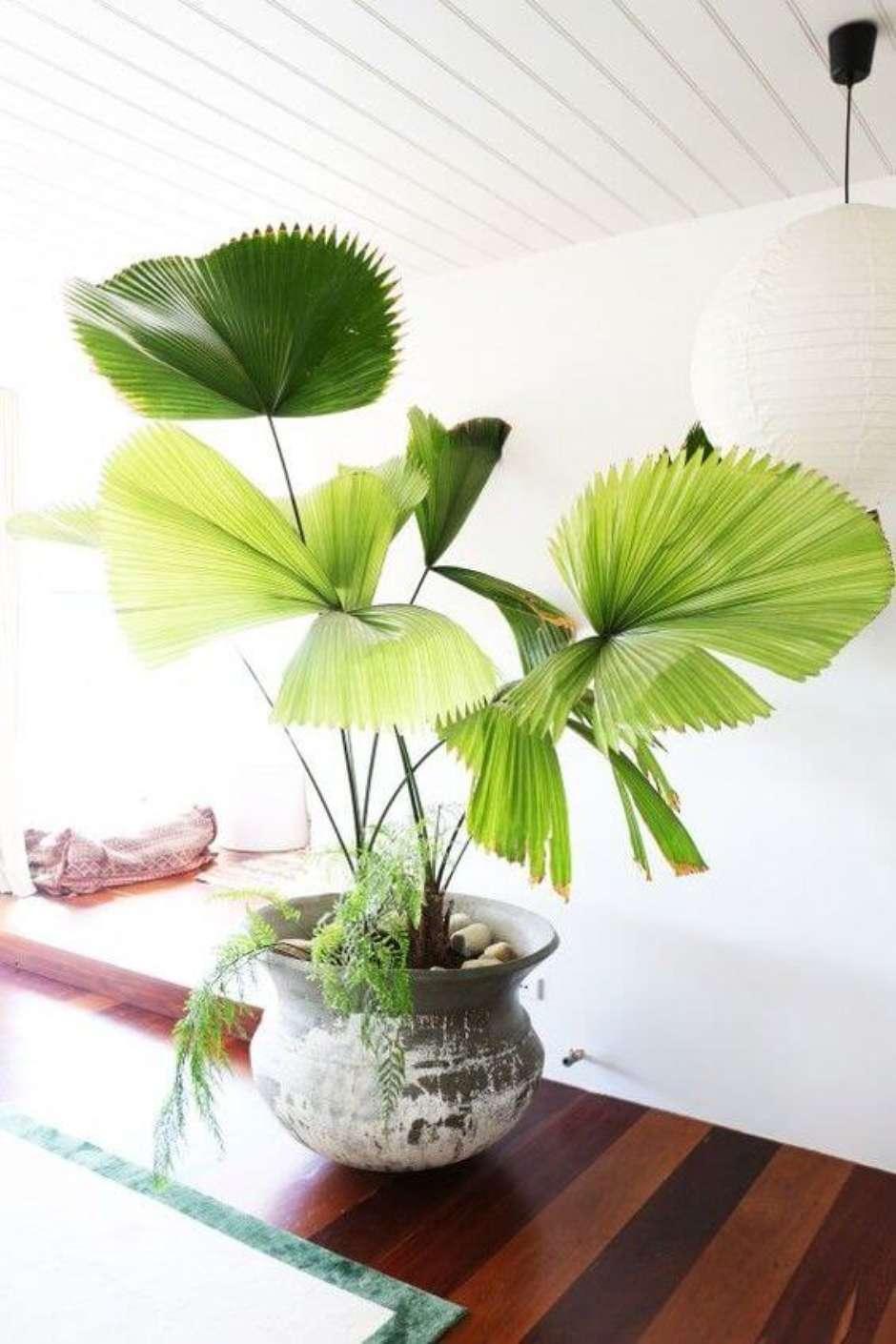 Plantas em apartamento - palmeira leque