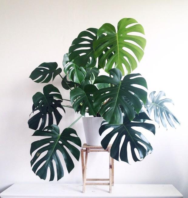 Plantas em apartamento - costela de adão