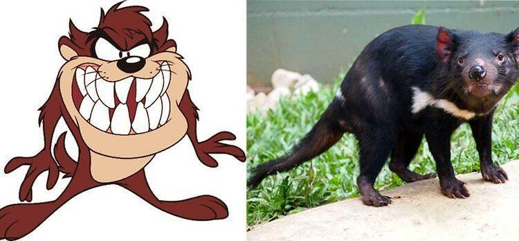 Comparativo entre o Taz de Looney Tunes e o diabo-da-Tasmânia. Foto: reprodução