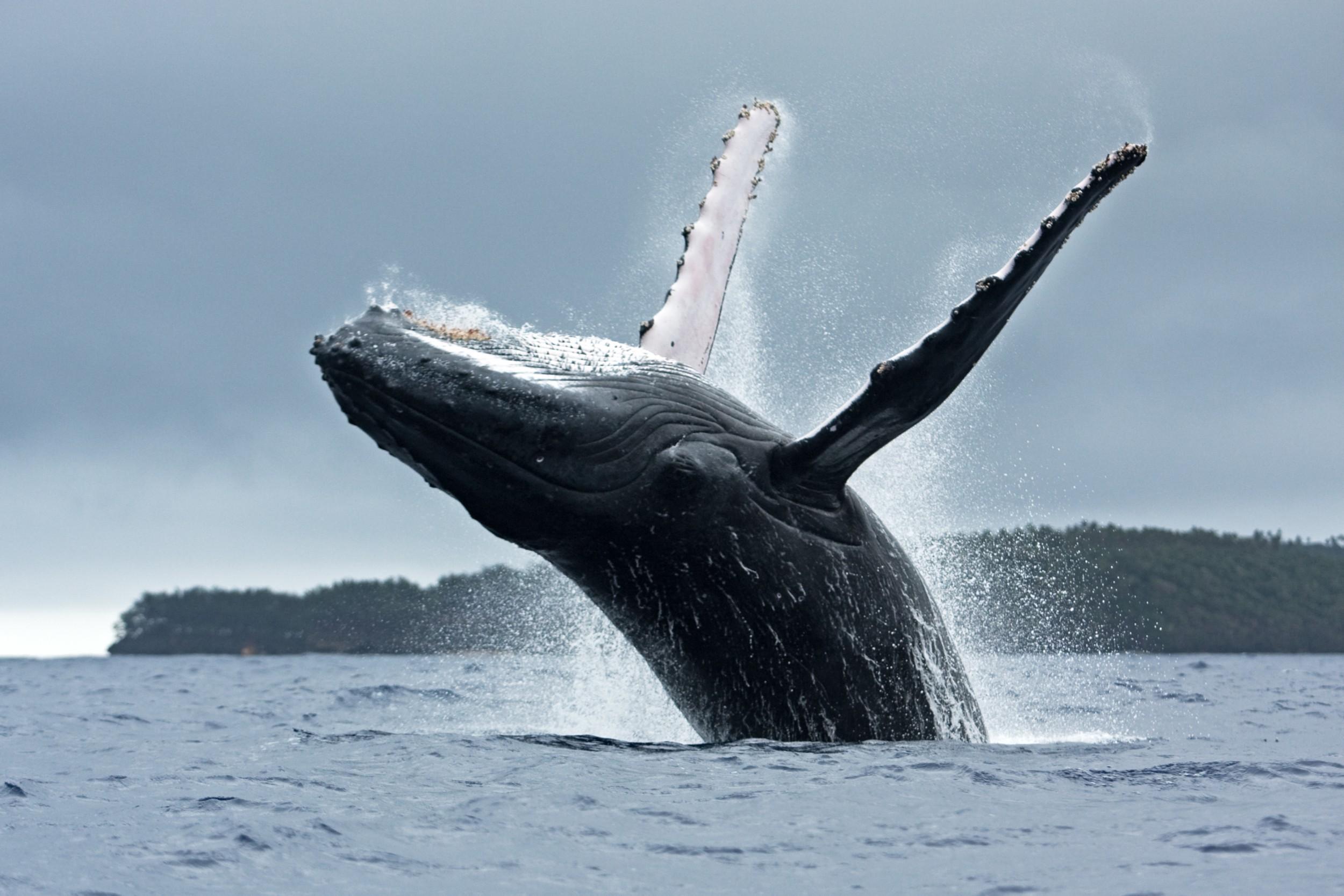 imagem de uma baleia jubarte