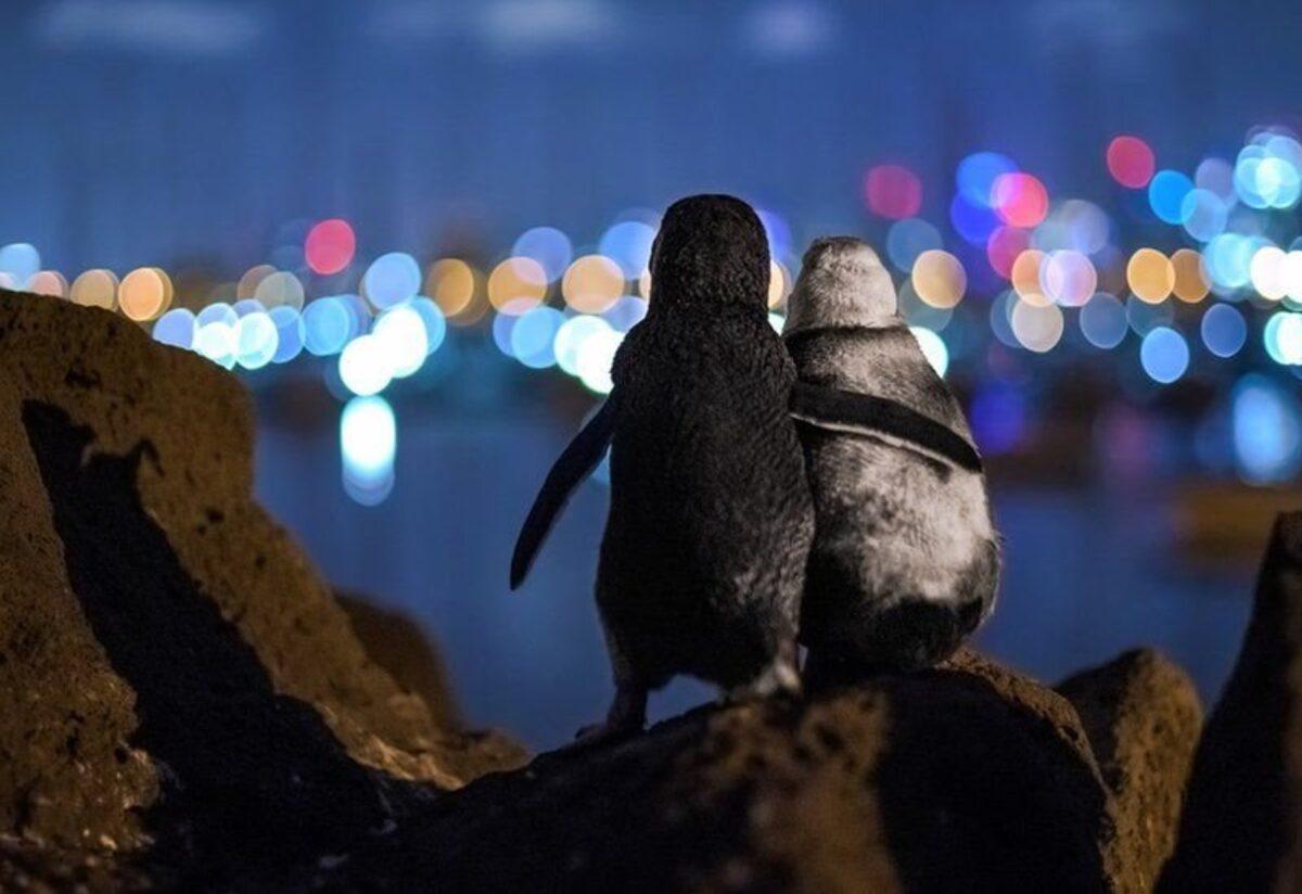 Foto de dois pinguins viúvos