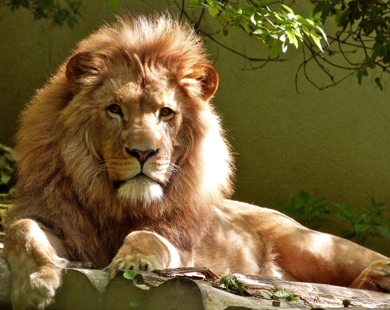 Leões testam positivo para covid-19