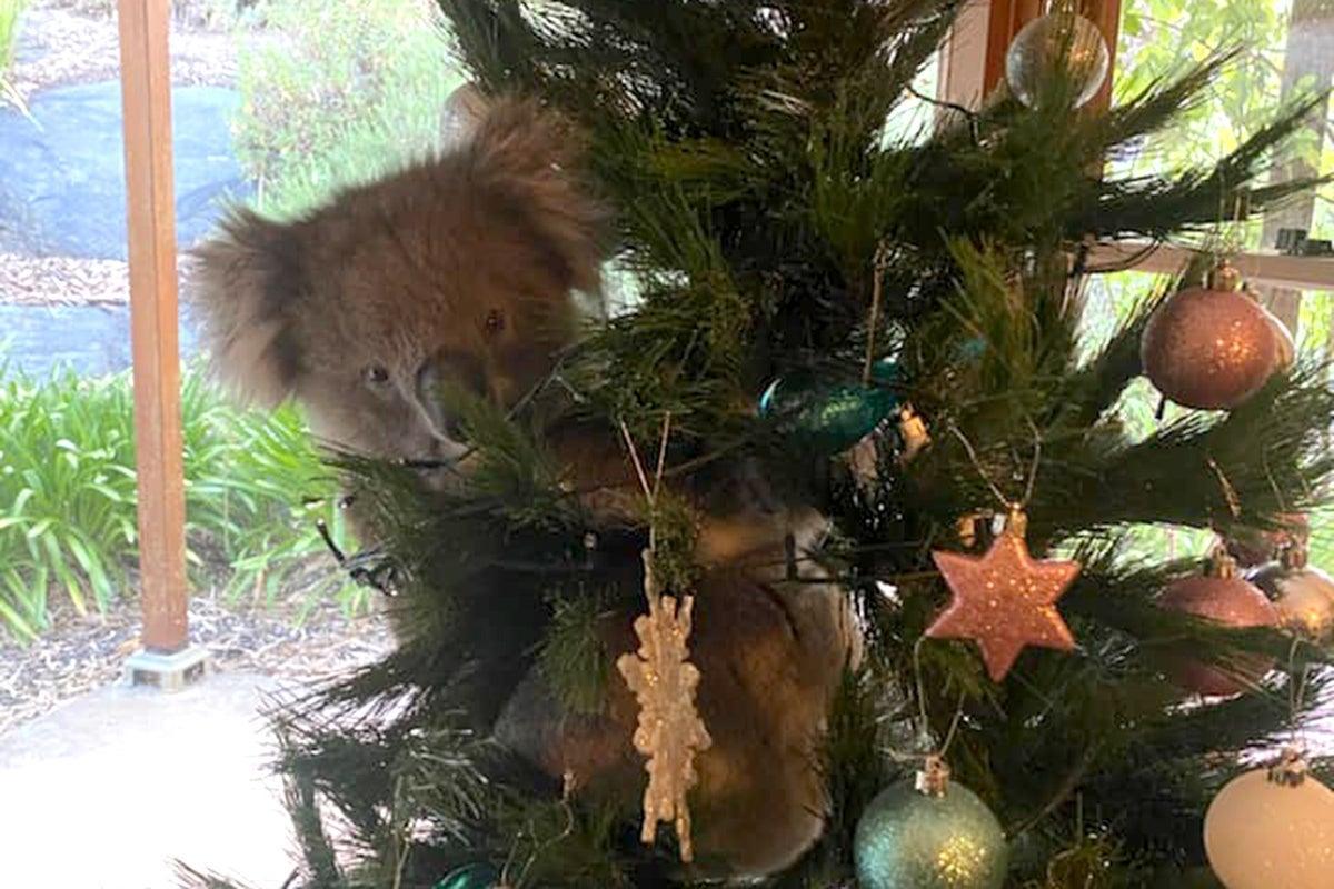 coala na árvore de Natal