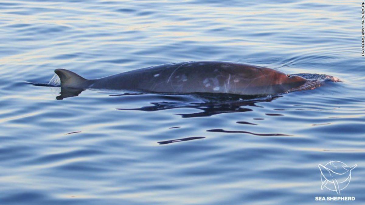 nova espécie de baleia