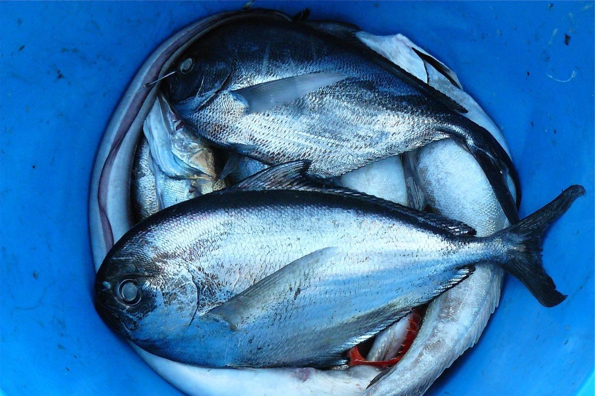 Imagem mostra balde de peixes, responsáveis por Síndrome de Haff